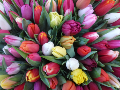 Highlighted image: Tulp