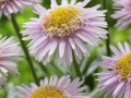 Pink Aster X (AA 100103 ®)